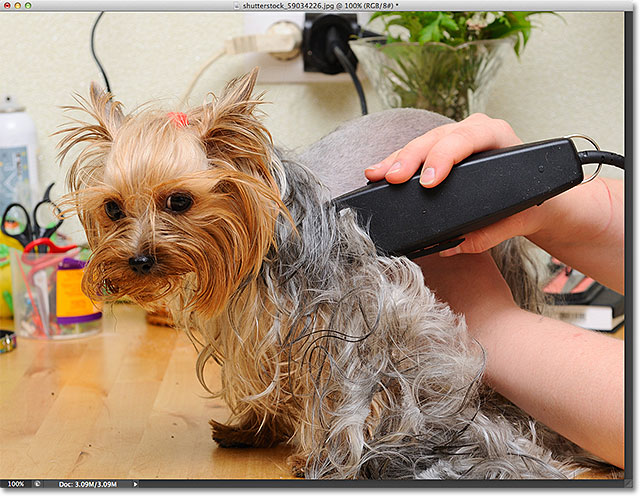 Yorkshire terrier getting his hair cut at the groomer. Image licensed from Shutterstock by Photoshop Essentials.com