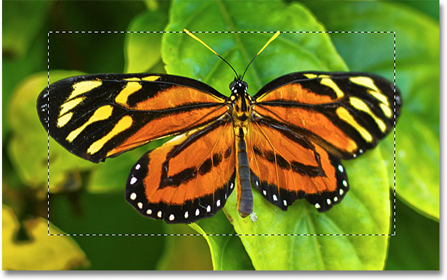 The initial selection around the butterfly. Image © 2010 Photoshop Essentials.com