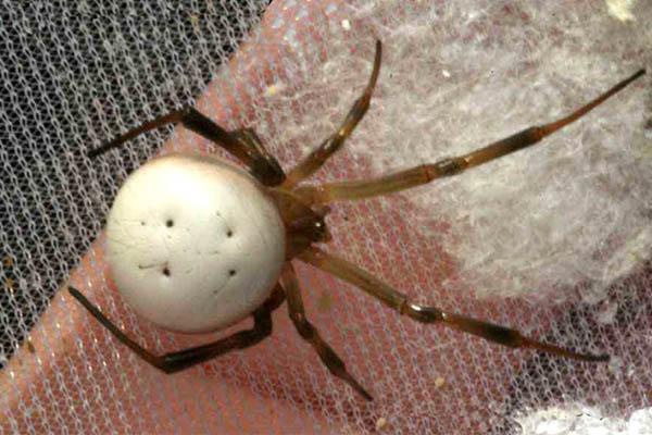 ankabutsefid مقابله با حشرات در طبیعت